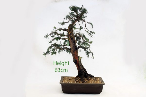 Yew Taxus Bonsai Tree Number 505 available to buy online from All Things Bonsai Sheffield Yorkshire