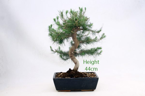 Aleppo Pine Bonsai Tree Number 430 available to buy online from All Things Bonsai Sheffield Yorkshire with free UK delivery