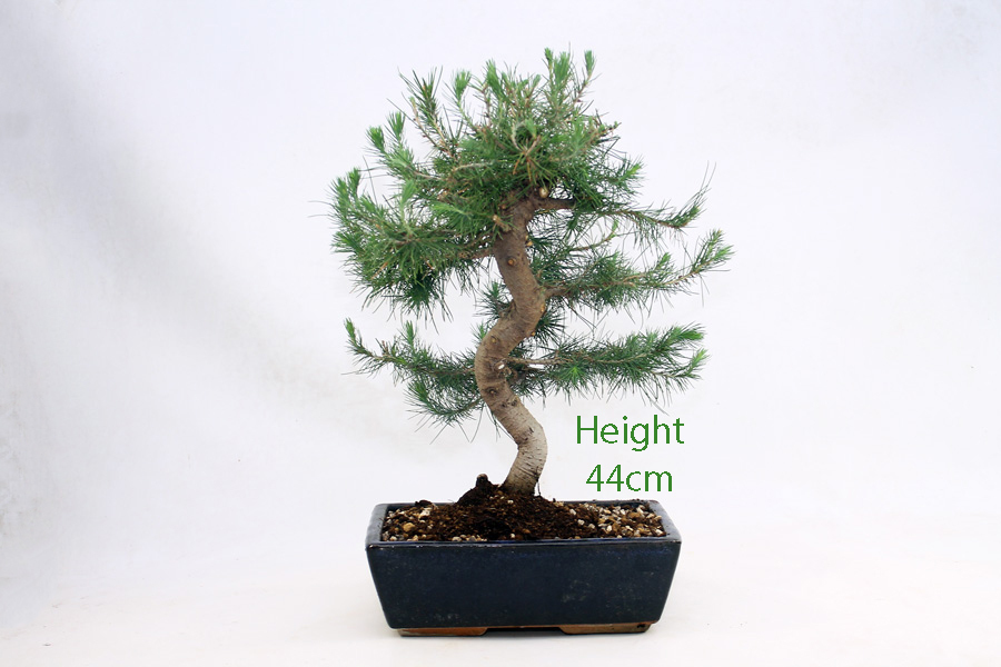 Aleppo Pine Bonsai Tree Number 430 All Things Bonsai