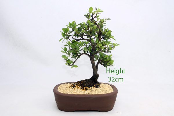 Azalea Flowering Bonsai Tree Number 440 available to buy online from All Things Bonsai Sheffield Yorkshire with free UK delivery