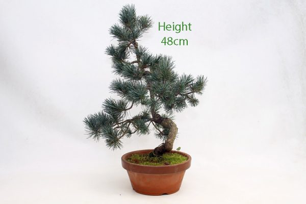 Japanese White Pine Bonsai Tree Part Trained Number 604 available to buy online from All Things Bonsai Sheffield Yorkshire with free UK delivery