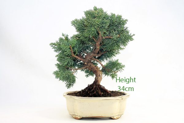 Chinese Juniper Bonsai Tree Number 456 available to buy online from All Things Bonsai Sheffield Yorkshire with free UK delivery