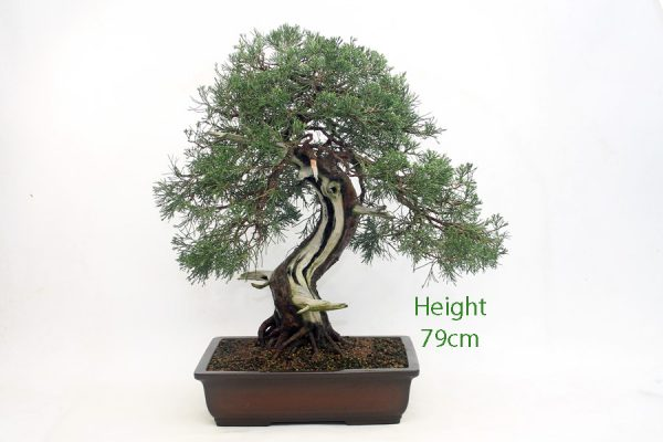 Juniper Bonsai Tree Number 97 available to buy online from All Things Bonsai Sheffield Yorkshire UK