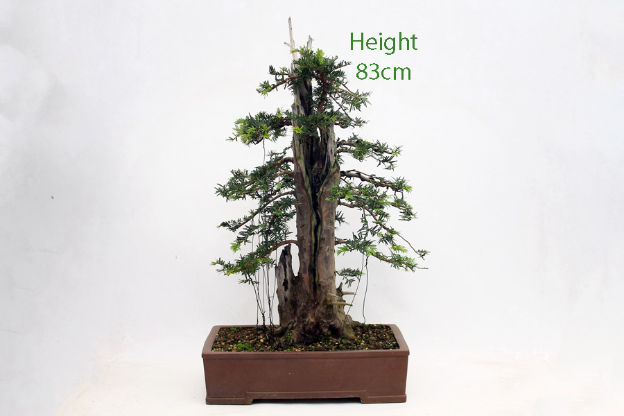 Yew Taxus Bonsai Tree Number 553 All Things Bonsai