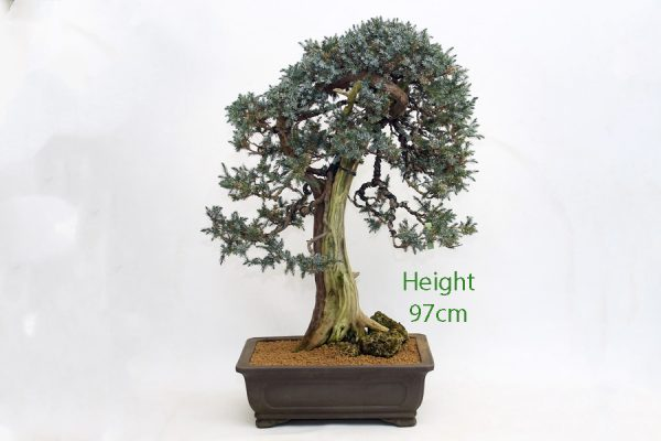 Juniper Bonsai Tree Number 27 available to buy online from All Things Bonsai Sheffield Yorkshire UK