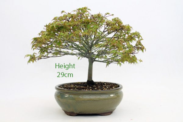 Acer Palmatum Kiyohime Japanese Maple Bonsai Tree Number 511 available to buy online from All Things Bonsai Sheffield Yorkshire with free UK delivery