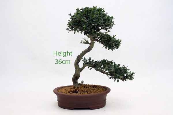 Japanese Holly Ilex Flowering Bonsai Tree Number 489 available to buy online from All Things Bonsai Sheffield Yorkshire with free UK delivery