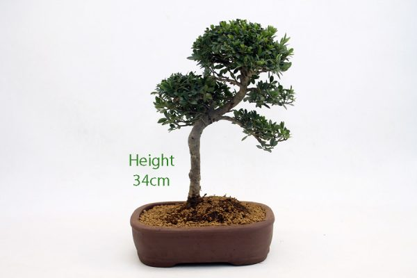 Japanese Holly Ilex Flowering Bonsai Tree Number 470 available to buy online from All Things Bonsai Sheffield Yorkshire with free UK delivery