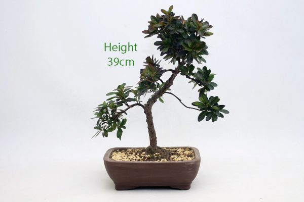 Azalea Flowering Bonsai Tree Number 406 available to buy online from All Things Bonsai Sheffield Yorkshire with free UK delivery
