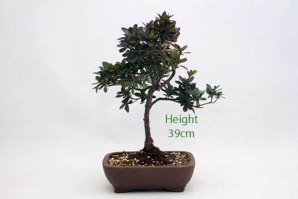 Azalea Flowering Bonsai Tree Number 230 available to buy online from All Things Bonsai Sheffield Yorkshire with free UK delivery