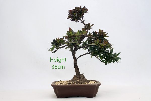 Azalea Flowering Bonsai Tree Number 275 available to buy online from All Things Bonsai Sheffield Yorkshire with free UK delivery