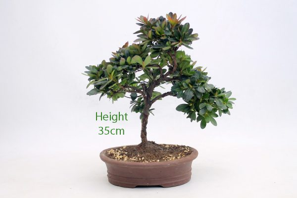 Azalea Flowering Bonsai Tree Number 575 available to buy online from All Things Bonsai Sheffield Yorkshire with free UK delivery