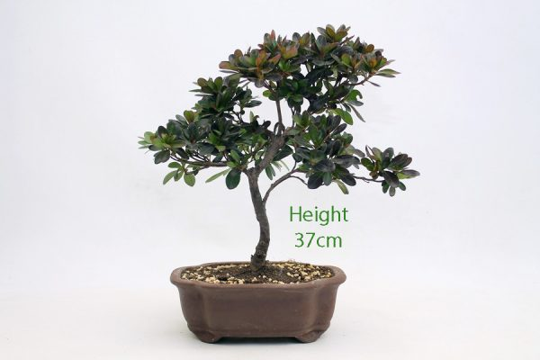 Azalea Flowering Bonsai Tree Number 461 available to buy online from All Things Bonsai Sheffield Yorkshire with free UK delivery