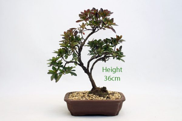 Azalea Flowering Bonsai Tree Number 546 available to buy online from All Things Bonsai Sheffield Yorkshire with free UK delivery