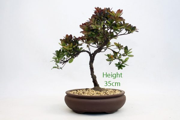 Azalea Flowering Bonsai Tree Number 205 available to buy online from All Things Bonsai Sheffield Yorkshire with free UK delivery