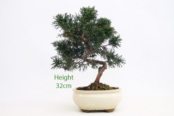 Chinese Juniper Part Trained Bonsai Number 464 available to buy online from All Things Bonsai Sheffield Yorkshire with free UK delivery