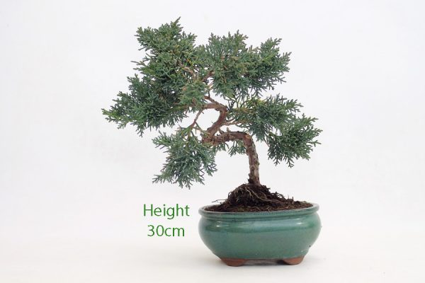 Chinese Juniper Part Trained Bonsai Number 302 available to buy online from All Things Bonsai Sheffield Yorkshire with free UK delivery