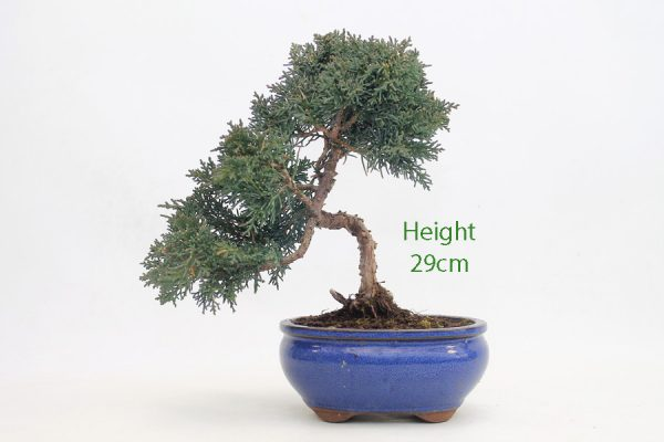 Chinese Juniper Part Trained Bonsai Number 567 available to buy online from All Things Bonsai Sheffield Yorkshire with free UK delivery