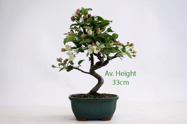 Crab Apple Flowering Bonsai Tree Small available to buy online from All Things Bonsai Sheffield Yorkshire with free UK delivery