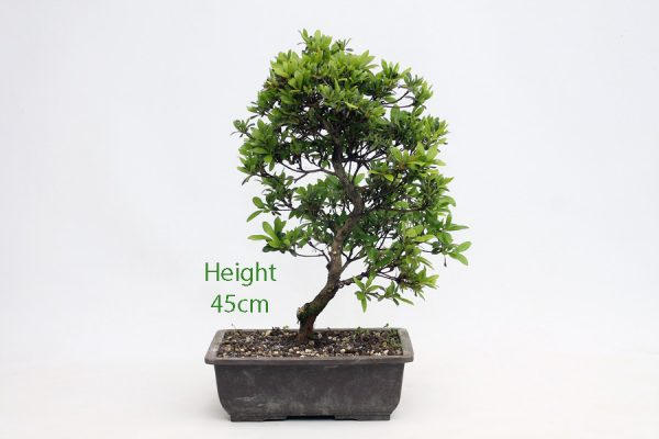 Azalea Rising Sun Bonsai Tree Part Trained Number 209 available to buy online from All Things Bonsai Sheffield Yorkshire with free UK