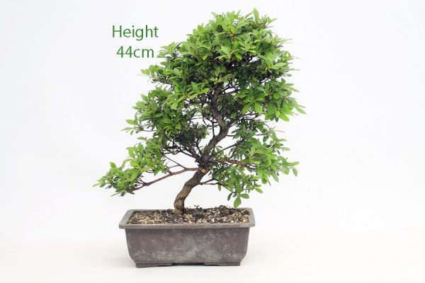 Azalea Rising Sun Bonsai Tree Part Trained Number 511 available to buy online from All Things Bonsai Sheffield Yorkshire with free UK