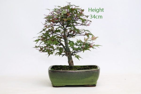 Acer Palmatum Deshojo Japanese Maple Bonsai Tree Number 496 available to buy online from All Things Bonsai Sheffield Yorkshire with free UK delivery