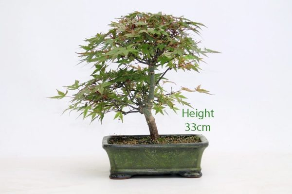 Acer Palmatum Deshojo Japanese Maple Bonsai Tree Number 655 available to buy online from All Things Bonsai Sheffield Yorkshire with free UK delivery
