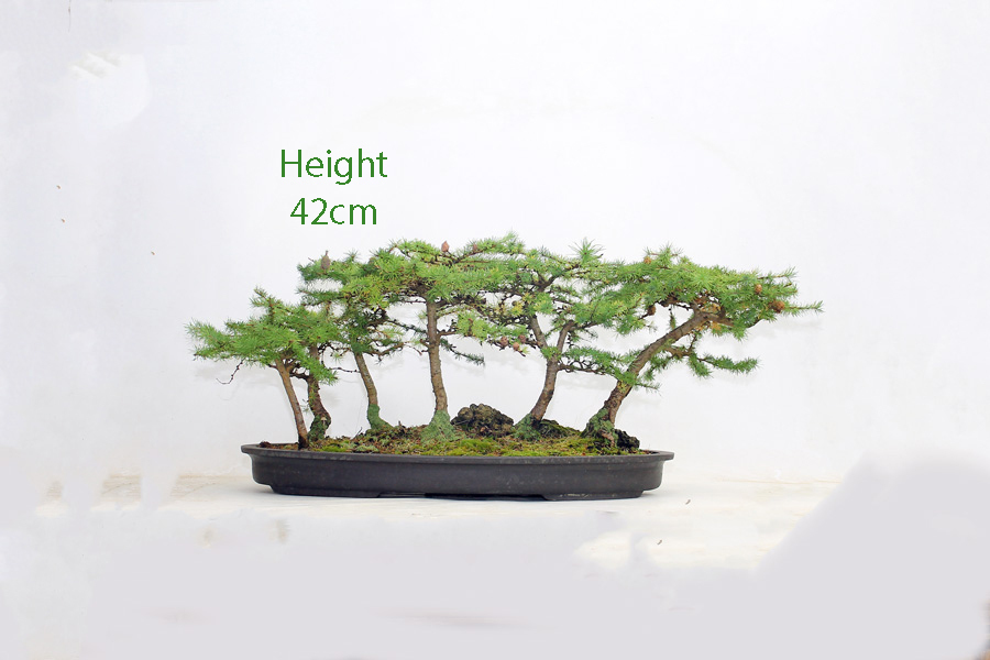 Japanese Larch Bonsai Tree Group All Things Bonsai